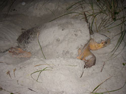 Loggerhead prepares her nest for eggs