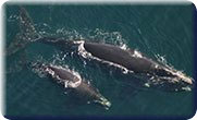 North Atlantic Right Whale Mother & Calf