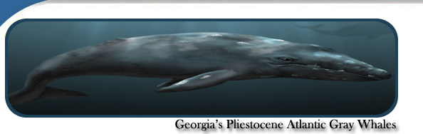 Georgia's Pleistocene Atlantic Gray Whales